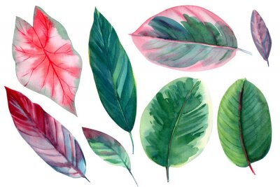 Naklejka set of leaves on isolated white background, watercolor illustration, pink and green leaves of tropical plants, rose-painted calathea, Caladium Plants