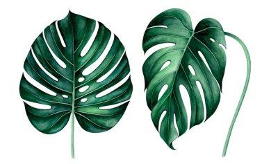 Naklejka Set of tropical monstera leaves isolated on white. Watercolor illustration.