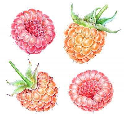 Naklejka Set of watercolor raspberries on white background