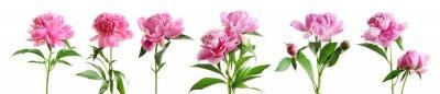 Naklejka Set piękni peonia kwiaty na białym tle
