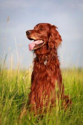 Naklejka Seter irlandzki pies czerwony