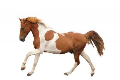 Naklejka Skewbald pony galopowanie samodzielnie na białym tle