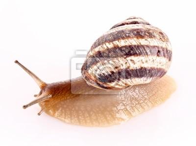Ślimak samodzielnie na białym tle