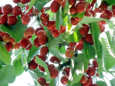 słodkie czerwone wiśnie