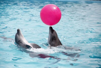 Naklejka słodkie delfiny podczas przemówienia w delfinarium