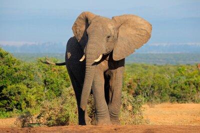 Naklejka Słoń afrykański, Addo Elephant National Park