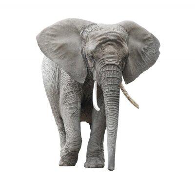 Naklejka Słoń afrykański na białym z wycinek ścieżki