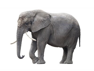 Naklejka Słoń afrykański samodzielnie na białym z wycinek ścieżki
