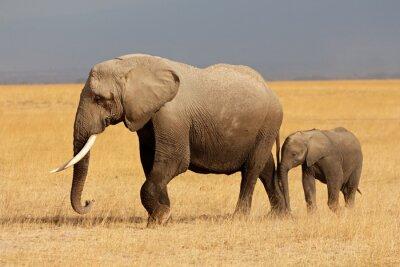 Naklejka Słoń afrykański z cielaka, Park Narodowy Amboseli