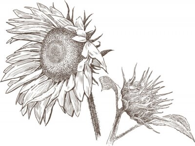 Naklejka słonecznik