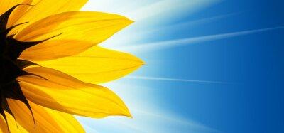 Naklejka Słonecznik kwiat słońce na niebieskim tle nieba