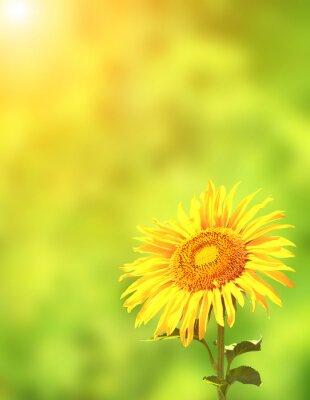 Naklejka Słonecznik na zielonym tle