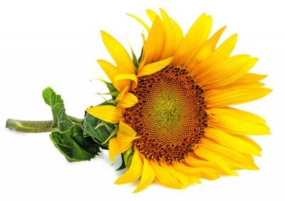 Naklejka słonecznika na białym tle