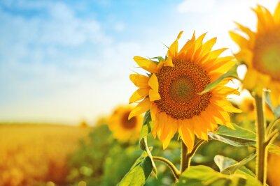 Naklejka Słoneczniki w polu