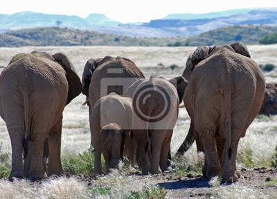 Naklejka Słonie afrykańskie chodząc Damaraland