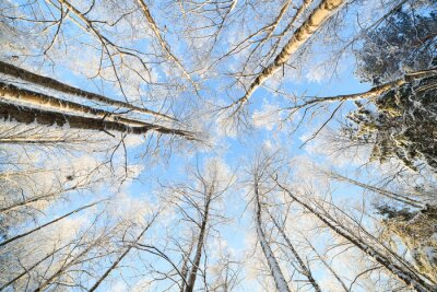 Naklejka Śnieg pokryte drzewo widok perspektywiczny patrząc w górę