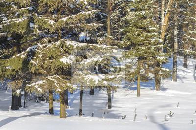 Śnieżna choinka w zima lesie. Naturalna scena o zimnej naturze. Piękny dzień w mroźnym lesie
