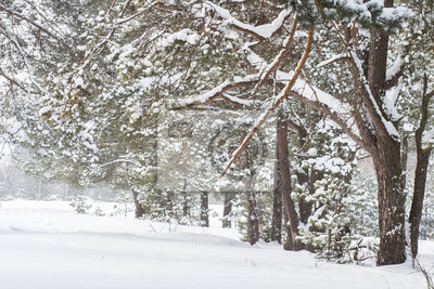 Śnieżni drzewa w zima lesie przy opadem śniegu. Zimna pogoda. Naturalny widok na mroźny krajobraz przyrody. Śnieg spada na drzewach w lesie.