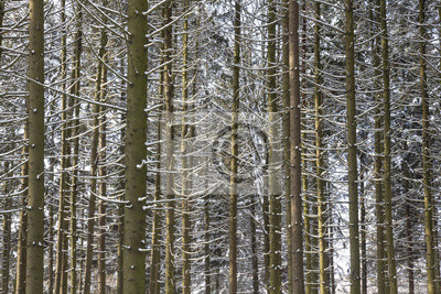 Śnieżni zima bagażniki na drzewach w mroźnym lesie. Tło natura.