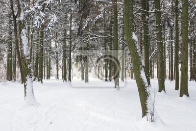Śnieżny zima las. Mroźny tło natura. Naturalna scena zimowa.