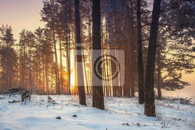 Śnieżny zima las przy wschodem słońca z złotym żółtym światłem słonecznym. Mroźni drzewa w mroźnym lesie. Niesamowity poranek w zimie. Boże Narodzenie tło. Czas świąteczny