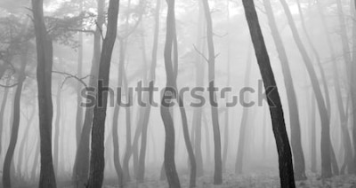 Naklejka Sosna widziana przez mgłę