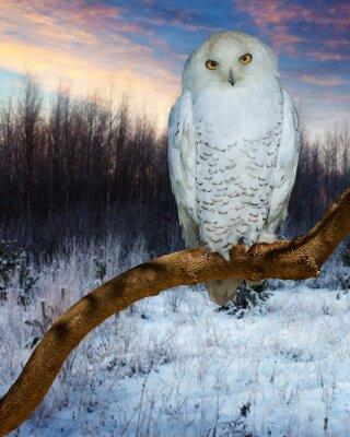 Naklejka Sowa śnieżna podczas zachodu słońca