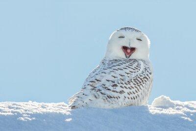 Naklejka Sowa śnieżna - Ziewanie / Uśmiechnięty w śniegu