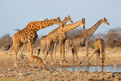 Naklejka Stado żyrafa (Giraffa Żyrafy) na waterhole, Park Narodowy Etosha, Namibia.