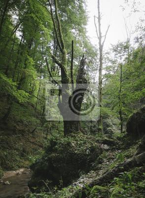 Stare drzewa w naturalnym lesie