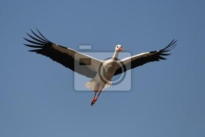 Storch im Anflug4