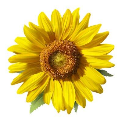 Naklejka Sunflower - Heliantus. Ręcznie rysowane ilustracji wektorowych słonecznika, realistyczny obraz w żywych kolorach, z pasemkami i cienie na białym tle.