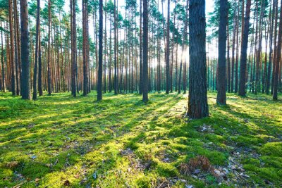 Naklejka Sunrise in pine forest