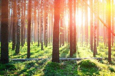 Naklejka Sunrise w lesie sosnowym