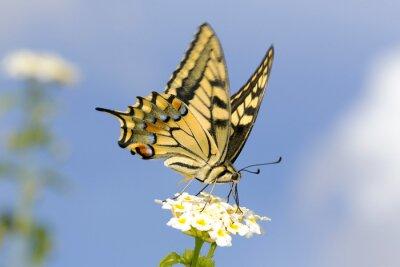 Naklejka Swallowtail żywienia na Lantana kwiatów. Długi czas otwarcia migawki, aby uchwycić skrzydła trzepotanie.