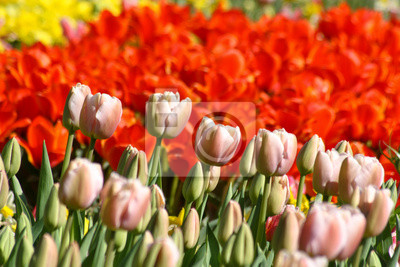 Świat tulipanów