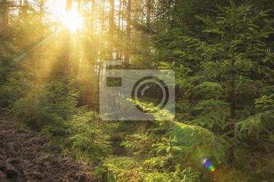 Światło słoneczne w zielonym lesie przy wschodem słońca. Krajobraz lato las z ciepłymi sunbeams przez drzew. Naturalna scena lasu w godzinach porannych