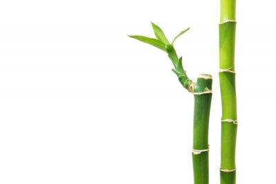 Naklejka Świeże bambusa samodzielnie na białym tle