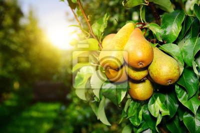 Naklejka Świeże organicznych gruszki na gałęzi drzewa