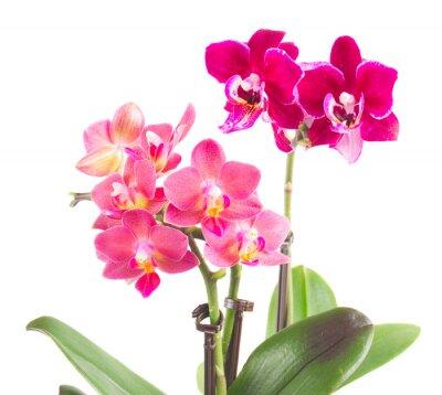 Naklejka Świeże różowa orchidea w doniczce