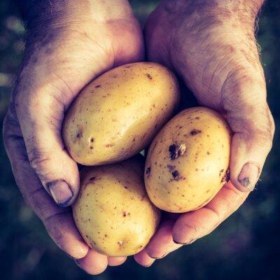 Naklejka Świeże ziemniaki w rękach