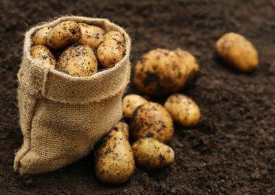 Naklejka Świeżo zebrane ziemniaki