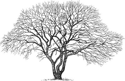 Naklejka Sylwetka starego drzewa