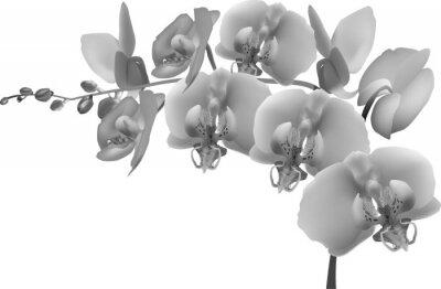 Naklejka szary orchidea oddział na białym tle
