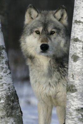 Naklejka Szary Wilk, Canis lupus