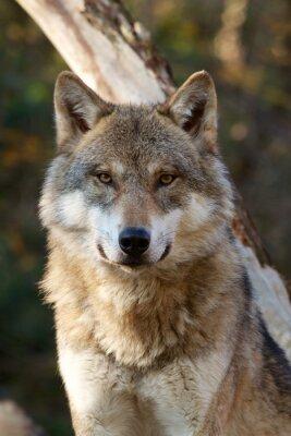 Naklejka Szary Wilk - Canis Lupus
