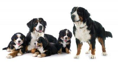 Naklejka szczenięta i dorosłych berneński pies Moutain