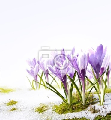 Sztuka krokusy kwiaty w odwilży śniegu