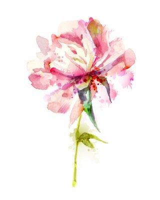 Te pojedyncze kwiatów różowa piwonia