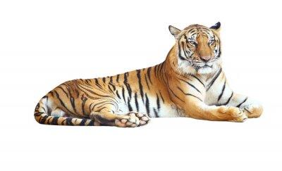 Naklejka Tiger patrząc aparat fotograficzny z wycinek ścieżki na białym tle